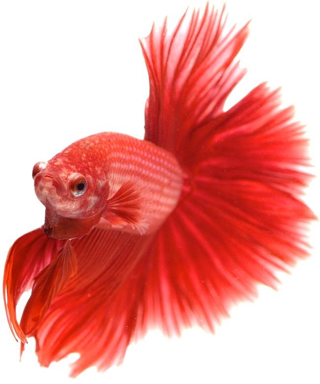 Asia Top Biggest Best Ornamental Aquarium Fish Exporter Singapore Sunbeam
