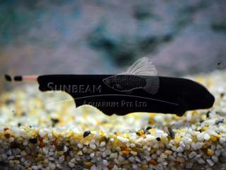 Knife Fish