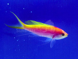 CORAL ANTHIAS