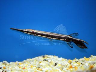 Needlefish & Gar