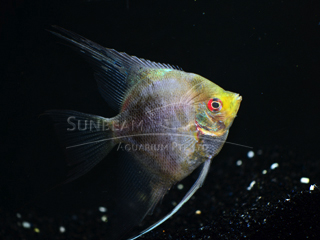 Fresh Water Fish | Sunbeam Aquarium Singapore