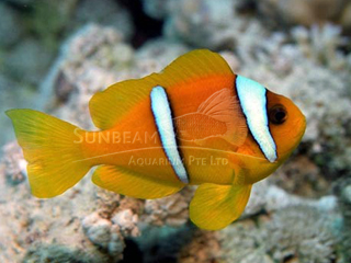 Marine fishes sunbeam aquarium singapore marine fishes anemonefish publicscrutiny Gallery