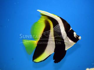 Marine fishes sunbeam aquarium singapore bannerfish publicscrutiny Gallery