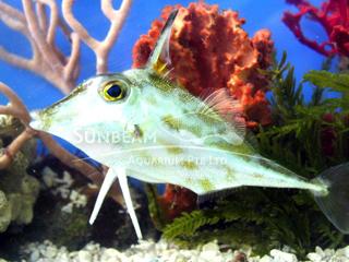 TripodFish