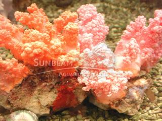 Pink Soft Cauliflower