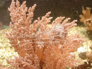 Lemnalia Cauliflower