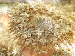Sand Flower Anemone