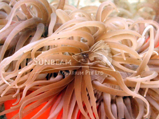 Long Tentacles Anemone