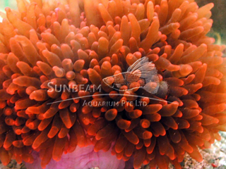 Red Carpet Anemone