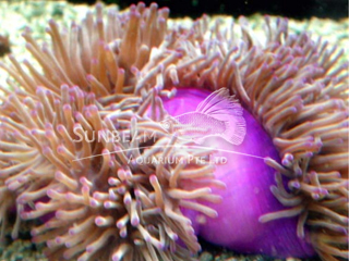 Purple Base Chendol Anemone