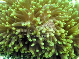 Luminus Green Chendol Anemone