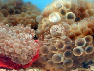 Assorted Color Carpet Anemone