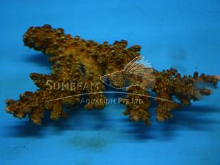 Acropora florida  (CITES)