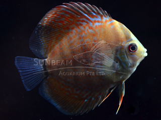 LEOPARD SNAKE DISCUS