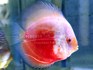 RED & WHITE DISCUS