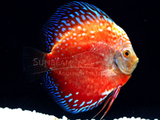 RED STARDUST DISCUS