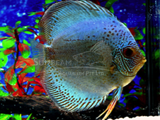 BLUE SCORPION DISCUS