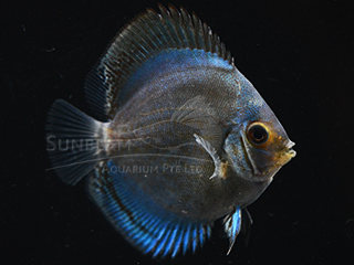 REFLECTION DEEP DISCUS (HI BODY)