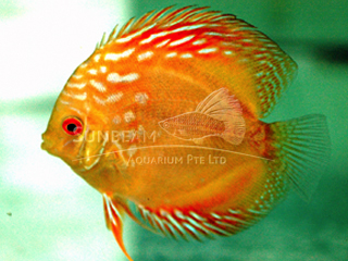 PIGEON YELLOW DISCUS