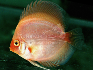 GOLDEN GHOST DISCUS
