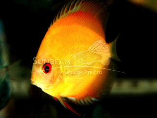 GOLDEN SUNRISE DISCUS