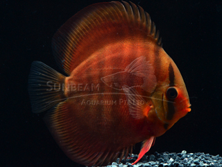 ALENCER CROSS DISCUS