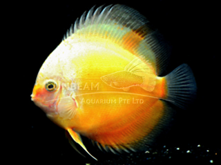 GOLDEN YELLOW WHITE DISCUS