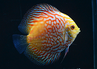 PIGEON CHECKERBOARD DISCUS