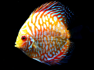 YELLOW CHECKERBOARD DISCUS