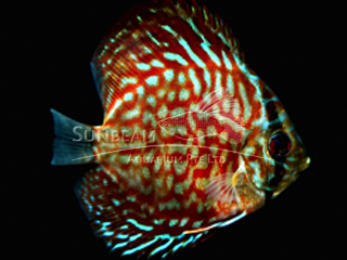BLUE ZIG ZAG LEOPARD DISCUS