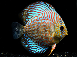RED TURQUOISE LEOPARD DISCUS