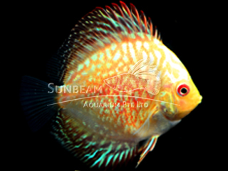 RED STONE DISCUS
