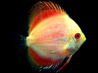 GOLDEN RAINBOW DISCUS