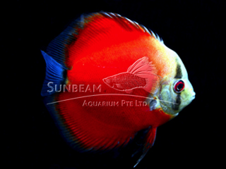 RED WINE DISCUS