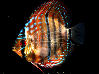 HECKLE CROSS DISCUS