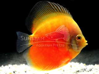 WHITE & GOLD DISCUS