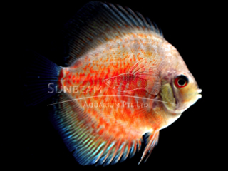RED SUNRISE DISCUS