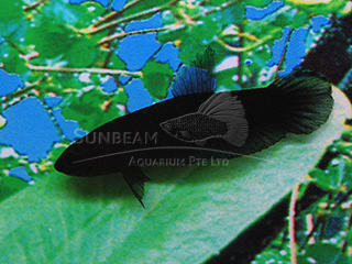 Black Dwarf Betta