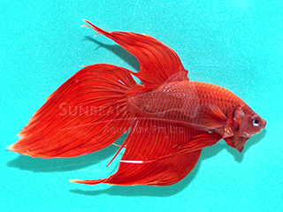 male red betta