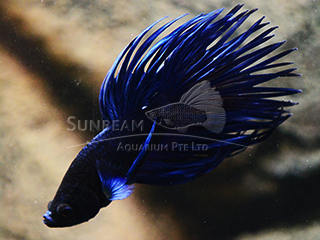 male blue crown tail