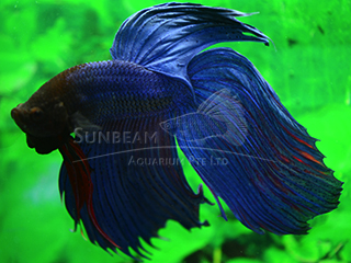 male blue betta