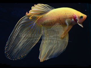 male yellow betta