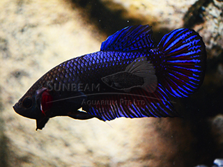 male shortail betta
