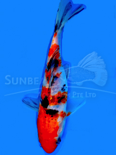 Tri-color Koi