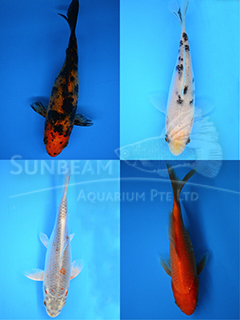 Assorted Grade B Koi