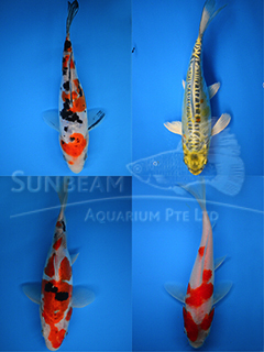 Assorted Grade A Koi