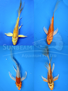 Assorted Long Fin Koi