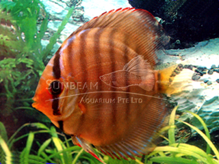 RED ALENCER DISCUS
