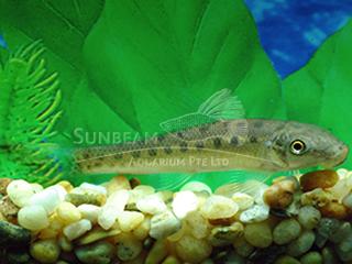 spotted algae eater