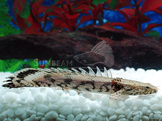 saddled bichir